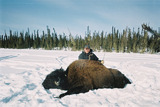 Boss Outfitting, Wild wood bison Hunting