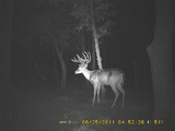 Trail Cam Buck Missouri