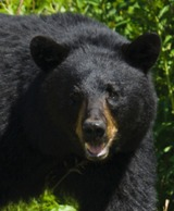 Montana Black Bear Hunts Hidden Valley Outfitters.
