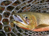 Cutthroat in the net!